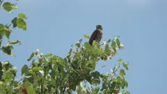 merlin (Falco columbarius) perched territorial alarm call