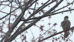 merlin (Falco columbarius) perched looking down