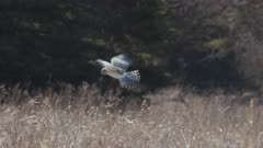 northern harrier (Circus hudsonius) flying over the field hunting