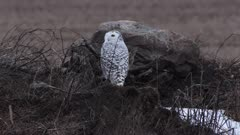 Snowy owl in flight (Bubo scandiacus)