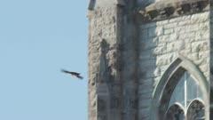 juvenile peregrine falcon carrying prey
