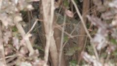 Canada Lynx close up - Lynx canadensis