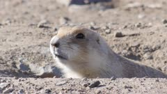 prairie dog close up