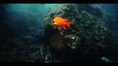 Male Garibaldi guarding nest & eggs on algae patch, chases away slender orange Senorita fish, (Oxyjulis californica), juvenile Calico Bass (Kelp Bass) swim nearby, removes an urchin too close to nest