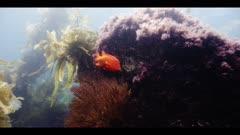 Underwater beauty scene in California kelp forest, Garibaldi fish swims through frame