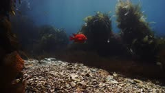 Underwater beauty scene in California kelp forest, Garibaldi & Senorita fish swim through kelp