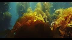 Underwater beauty scene in California kelp forest, juvenile Sheephead fish swims in background