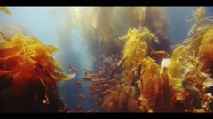 Underwater beauty scene in California kelp forest with a school of juvenile Ocean Whitefish