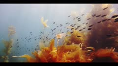 Underwater beauty scene in California kelp forest with a school of Blacksmith Fish