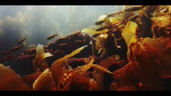 Underwater beauty scene in California kelp forest with a school of juvenile Ocean Whitefish and a Garibaldi