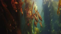 Underwater beauty scene in California kelp forest with a schools of Blacksmith Fish and juvenile Ocean Whitefish