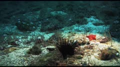 Sea Stars, Brittle Stars, white Sea Urchins and Red Sea Urchins on the seabed