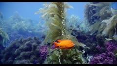 Garibaldi swimming in kelp forest past purple reef coral