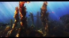 Various fish swim through a healthy kelp forest