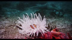 Fish-eating Anemone tentacles waving in ocean current to catch food, Bat Stars on sand nearby