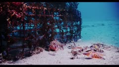 Growth-encrusted wire cage is a lobster trap which escaped its tether. The lost trap can now either be shelter for wildlife, or a deadly trap.  A small camouflaged California Scorpionfish shelters next to the structure, as well as colorful Bat Stars