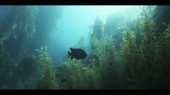 Good, long shot. Underwater. Wide shot of healthy, mature California kelp forest (Macrocystis pyrifera). Pretty sun light dapples on kelp leaves. Also other seaweeds and algae. Clear blue water. The camera is stationary the first 2 minutes, then slowly pushes forward and smoothly travels through the kelp forest. Calico bass (Paralabrax clathratus), Opaleye fish (Girella nigricans), Garibaldi fish (Hypsypops rubicundus), and Senorita fish (Oxyjulis californica). Continuous movement of seaweeds from ocean current. Beauty shot. Pacific Ocean, California Channel Islands.