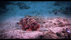 A colorful sculpin fish (Scorpaena guttata) moves awkwardly, he adjusts his position on the sandy sea bottom, using his large pectoral fins. Fish using pectoral fins to walk on sea bottom.  The sculpin fish stays center frame, he does not completely match the nearby algae-covered rocks, which are a better fit for his camouflage.  Seafloor near the California Channel Islands. Pacific Ocean.