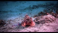 A colorful sculpin fish (Scorpaena guttata) moves awkwardly, he adjusts his position on the sandy sea bottom, using his large pectoral fins.  Fish using pectoral fins to walk on sea bottom.  Seafloor near the California Channel Islands. Pacific Ocean.