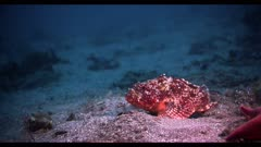 A colorful sculpin fish (Scorpaena guttata) sitting on the sandy sea bottom, using his large pectoral fins to steady himself in the current.  Seafloor near the California Channel Islands. Pacific Ocean.