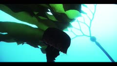 Giant purple jellyfish (Chrysaora colorata) briefly swims into large leaves of a Elk kelp plant  (Pelagophycus porra). Blue Pacific Ocean near California.  Underwater. Camera POV is from below, looking up at the pulsing bell of the jellyfish.