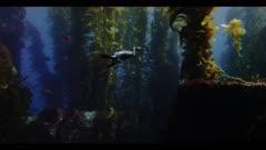 Cormorant swimming underwater, in California kelp forest (Macrocystis pyrifera). Good light on the sea bird. Notice the webbed feet, placed far back on the bird's body to assist swimming underwater. The sandy sea bottom and rocky reef are seen. Orange Garibaldi fish (Hypsypops rubicundus). Senorita fish (Oxyjulis californica). Underwater hunter. Diving bird. Swimming bird. Pacific Ocean. California Channel Islands. North America West Coast.