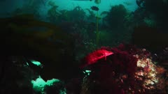 Underwater. Giant Kelp fish (Heterostichus rostratus) hides in the red algae growing on rocky reef. Camouflage. Bull kelp (Nereocystis luetkeana). at the edge of a kelp forest (Macrocystis pyrifera). Beyond, also see Calico bass  (Paralabrax clathratus), opal eye fish (Girella nigricans), sheep head fish (Semicossyphus pulcher), Garibaldi fish (Hypsypops rubicundus). California Channel Islands. Reef is covered with algae and seaweeds. Pacific Ocean. North America West Coast.