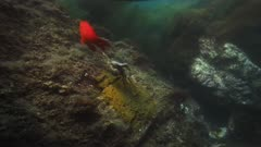 Underwater view of male Garibaldi fish, he is guarding his nest and eggs (Hypsypops rubicundus). The male Garibaldi chose a flat rock surface within a kelp forest, he cultivated a certain golden algae on which females laid their eggs. Here he grabs an octopus which has wandered too close to his nest, the Garibaldi jerks the octopus off the reef and drops the octopus further up the rock, the octopus releases a cloud of ink and the Garibaldi fish gapes the bad taste out of his mouth. See Bull kelp (Nereocystis luetkeana) on the edge of a giant kelp forest (Macrocystis pyrifera). There are many types of algae, Rhodophyta or Rhodymenia. Another red algae is Botryoglossum farlowianum. And pink or red Coralline algae. Healthy environment. Pacific Ocean. California Channel Islands. North America West Coast.