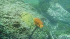 Underwater view of male Garibaldi fish (Hypsypops rubicundus.) He threatens an octopus which has wandered too close to his nest. Rocky reef on the edge of a giant kelp forest (Macrocystis pyrifera). There are many types of algae, Rhodophyta or Rhodymenia, and Botryoglossum farlowianum. Healthy environment. Pacific Ocean. California Channel Islands. North America West Coast.
