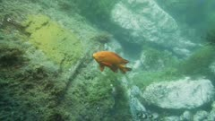 Underwater view of male Garibaldi fish (Hypsypops rubicundus.) He uses his mouth to pull at an octopus which has wandered onto his nest. Rocky reef on the edge of a giant kelp forest (Macrocystis pyrifera). There are many types of algae, Rhodophyta or Rhodymenia, and Botryoglossum farlowianum. Healthy environment. Pacific Ocean. California Channel Islands. North America West Coast.
