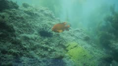 Underwater view of male Garibaldi fish (Hypsypops rubicundus) guarding his nest. A giant purple sea urchin (Strongylocentrotus purpuratus) has gotten too close to his nest, and the Garibaldi fish uses his mouth trying to move the urchin away. In background, Calico bass (Paralabrax clathratus) and Opal eye fish (Girella nigricans). The Garibaldi nest is a patch of golden algae which the Garibaldi cultivated on a flat reef face, and then he tempted passing females to come lay their eggs on his nest, on the edge of a giant kelp forest (Macrocystis pyrifera). There are many types of algae, Rhodophyta or Rhodymenia, and Botryoglossum farlowianum on the reef. Healthy environment. Pacific Ocean. California Channel Islands. North America West Coast.