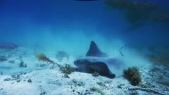 A large Bat ray (Myliobatis californica) is digging in the sandy sea bottom, for the molluscs and crustaceans it feeds upon. Bat rays can live more than 20 years. Calico bass (Paralabrax clathratus) and juvenile sheep head fish (Semicossyphus pulcher) are nearby, these fish hope to feed upon anything that is scared up or left behind by the digging bat ray. Ocean floor. Healthy eco system. Pacific Ocean. California Channel Islands. North America West Coast.