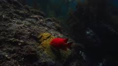 Underwater view of male Garibaldi fish (Hypsypops rubicundus) guarding his nest. The Garibaldi uses his mouth to move a giant purple sea urchin (Strongylocentrotus purpuratus) which has gotten too near his nest, to move it down the reef. Then the Garibaldi cleans away algae or debris on his mass of eggs, using his mouth. The Garibaldi nest is a patch of golden algae which the Garibaldi cultivated on a flat reef face, and then passing females laid their eggs there, on the edge of a giant kelp forest (Macrocystis pyrifera). There are many types of algae, Rhodophyta or Rhodymenia, and Botryoglossum farlowianum on the reef. Healthy environment. Beauty shot, good dappling sunlight on subjects. Nesting behavior. Pacific Ocean. California Channel Islands. North America West Coast.