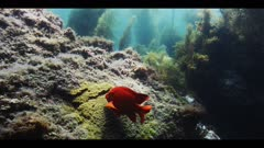 Underwater beauty shot. Medium shot, showing the place in the giant kelp (Macrocystis pyrifera) forest where a rocky reef has a Garibaldi fish (Hypsypops rubicundus) nest. See the patch of golden algae on which passing females have laid their eggs. The fish removes debris off the eggs with his mouth. Natural sun light in pretty blue water. Good movement of kelp and seaweeds in ocean current. Healthy eco system. Environmental good news. Pacific Ocean. Nesting behavior. California Channel Islands. North America West Coast.