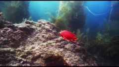 Underwater view, this male Garibaldi fish (Hypsypops rubicundus) has a nest on the rock face, his nest looks dark red or brown. Usually the nest is a pale color.  Did this Garibaldi choose a patch of dark algae as a base for his nest, on which passing females lay eggs?  Or are the eggs on this nest mature and ready to hatch, and that is the reason for the dark color?  Or was there a problem that killed all the eggs and that is the reason for the dark color? Beyond is a giant kelp forest (Macrocystis pyrifera). See many types of algae and sea weed, Rhodophyta or Rhodymenia, and Botryoglossum farlowianum on the reef. Pacific Ocean. Fish spawning. Reproduction. California Channel Islands. North America West Coast.