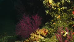 Underwater camouflage, see sculpin (Scorpaena guttata) resting on the reef, bottom center of frame, between two red sea fans. Also called California Scorpionfish (Scorpaena guttata), or Scorpaenidae. Red sea fans are (Eugorgia rubens) and (Muricea fruticosa) or Red gorgonian (Lophogorgia chilensis). Scientific sea fan names are Cnidaria and Gorgoniidae and Plexauridae and Alcyonacea. Pacific Ocean. California Channel Islands. Hidden predator.