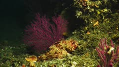 Underwater camouflage, see sculpin (Scorpaena guttata) resting on the reef, bottom center of frame, between two red sea fans. Also called California Scorpionfish (Scorpaena guttata), or Scorpaenidae. Red sea fans are (Eugorgia rubens) and (Muricea fruticosa) or Red gorgonian (Lophogorgia chilensis). Scientific sea fan names are Cnidaria and Gorgoniidae and Plexauridae and Alcyonacea. Pacific Ocean. California Channel Islands. Hidden predator. Could be night time view.