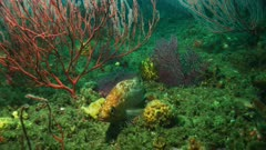 Juvenile giant sea bass (Stereolepis gigas) or red rockfish ( Sebastes pinniger) resting on a California Channel Island reef. Between sea fans or Red gorgonian (Lophogorgia chilensis). Pacific Ocean. Healthy reef.