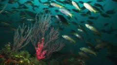 Underwater California reef. Large school of Opal eye fish (Girella nigricans) swim in Pacific Ocean. Bull kelp (Nereocystis luetkeana). Sea fan or gorgonian (Lophogorgia chilensis) and other soft corals (Cnidaria). Healthy reef.