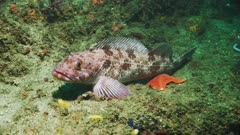 Ling cod or lingcod (Ophiodon elongatus), family is Hexagrammidae or hexagrammid. Resting on rocky reef next to an orange bat star or sea star (Patiria miniata). (Also see part of anchor and chain on reef, from boat.) Underwater. California Channel Islands. Pacific Ocean.