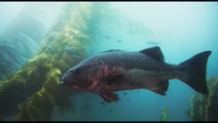 Giant sea bass (Stereolepis gigas) swimming wild in giant kelp forest (Macrocystis pyrifera) and bull kelp (Nereocystis luetkeana). Also see calico bass (Paralabrax clathratus) and senorita fish (Oxyjulis californica). (The moments of red reflections are NOT accurate color of the sea bass.) California Channel Islands. Healthy environment. North America West Coast.