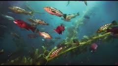 Beauty shot, rich sea life swimming wild in giant kelp forest (Macrocystis pyrifera) and bull kelp (Nereocystis luetkeana). See mature sheep head fish (Semicossyphus pulcher) and Garibaldi fish (Hypsypops rubicundus) and senorita fish (Oxyjulis californica) and Opaleye fish (Girella nigricans). Also see calico bass (Paralabrax clathratus). California Channel Islands.  Healthy environment. North America West Coast.