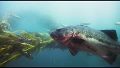 Giant sea bass (Stereolepis gigas) swimming wild in giant kelp forest. A scuba diver using a rebreather is seen with video camera, the diver is useful to show size perspective. And beauty shot of other sea life in kelp forest (Macrocystis pyrifera) and bull kelp (Nereocystis luetkeana). See mature sheep head fish (Semicossyphus pulcher) and Garibaldi fish (Hypsypops rubicundus) and senorita fish (Oxyjulis californica) and Opaleye fish (Girella nigricans). Also see calico bass (Paralabrax clathratus) and chub mackerel (Scomber japonicus). (The moments of red reflections on the giant sea bass do NOT show accurate color.) California Channel Islands.  Healthy environment. North America West Coast.