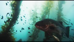 Giant sea bass (Stereolepis gigas) swimming wild. Plus other sea life in kelp forest (Macrocystis pyrifera) and bull kelp (Nereocystis luetkeana). See sheep head fish (Semicossyphus pulcher) and senorita fish (Oxyjulis californica) and Opaleye fish (Girella nigricans) and calico bass (Paralabrax clathratus). (The moments of red reflections on the giant sea bass do NOT show accurate color.) California Channel Islands.  Healthy environment. North America West Coast.
