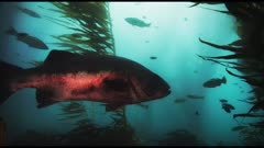 Giant sea bass (Stereolepis gigas) swimming with other sea life in kelp forest (Macrocystis pyrifera) and bull kelp (Nereocystis luetkeana). See sheep head fish (Semicossyphus pulcher) and senorita fish (Oxyjulis californica) and Opaleye fish (Girella nigricans) and calico bass (Paralabrax clathratus) and Garibaldi (Hypsypops rubicundus). (The moments of red reflections on the giant sea bass do NOT show accurate color.) California Channel Islands.  Healthy environment. North America West Coast.