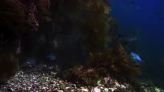 Underwater view of opaleye fish (Girella nigricans) gathering to spawn over a certain rocky place on California Channel Island. The opaleye suspend their spawning behavior when another kind of fish, Seniorita fish (Oxyjulis californica) comes near, which might eat the spawn. At the end of this footage see a juvenile, hatchling, baby Garibaldi fish, see electric blue spots, hiding near seaweed (Hypsypops rubicundus). Transition from rocky structure of California Island to kelp forest (Macrocystis pyrifera). Dark and moody shot, can be used as transition from late afternoon into night time ocean. Transition from day to night, underwater. Natural twilight. Various types of kelp and algae and seaweeds. Bull kelp (Nereocystis luetkeana). Healthy environment. North America West Coast. Pacific Ocean.