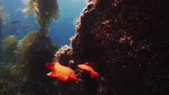 Underwater view, a male Garibaldi fish (Hypsypops rubicundus) has persuaded a female Garibaldi to lay her eggs on his nest, he stays near, and swims with her to fertilize. Good long shot. The nest is a patch of dark algae on a vertical rock face, on the reef. Then female leaves. There are eggs on this nest from as many females as the male has been able to attract. Then male stays to guard his nest and eggs from any other fish, like that persistent Seniorita fish (Oxyjulis californica). California Channel Islands. This reef is between the island and a kelp forest (Macrocystis pyrifera) with Bull kelp (Nereocystis luetkeana). Good natural sunlight. Pretty blue water. Beauty shot. Fish spawning. Healthy environment. North America West Coast. Pacific Ocean. Reproduction.  This shot is another angle and continuation from other footage clips labeled BC180502_0362 through _0398 and BC190111_0001.