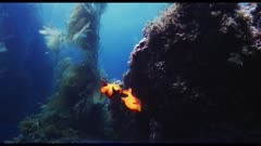 Garibaldi fish spawning. At 0:41, see in background a different male Garibaldi fish chasing a female, in right frame. She re-appears at 0:52 in top left frame, in the kelp forest beyond. The nearest Garibaldi fish, a male, swims up and down vigorously to attract the female Garibaldi in the background to come to his nest. 1:39, The female slowly approaches and lays her eggs on the nest (patch of algae on a flat, vertical rock surface).  At 1:59, The male Garibaldi fish drives the female away the moment she looks like she is eating some of the eggs on his nest. The male dances again to attract the female back to lay more eggs. At 2:49 the female watches the male Garibaldi dance, but does not return to the nest. Good natural light, pretty blue water, lots of sunlight, beauty shot.  Healthy environment. See tiny planktonic nutrients in the rich seawater. North America West Coast. This shot connects with clips labeled BC180502_0362 through _0398 and BC190111_0001.