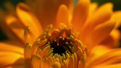 Extreme Close Up of Yellow Chrsanthemum