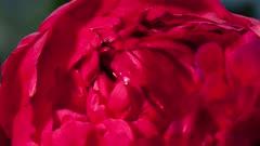 Close Up of Red Caolina Rose
